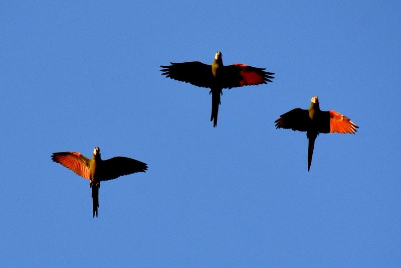 Arapapegøjer i Amazonas, Colombia