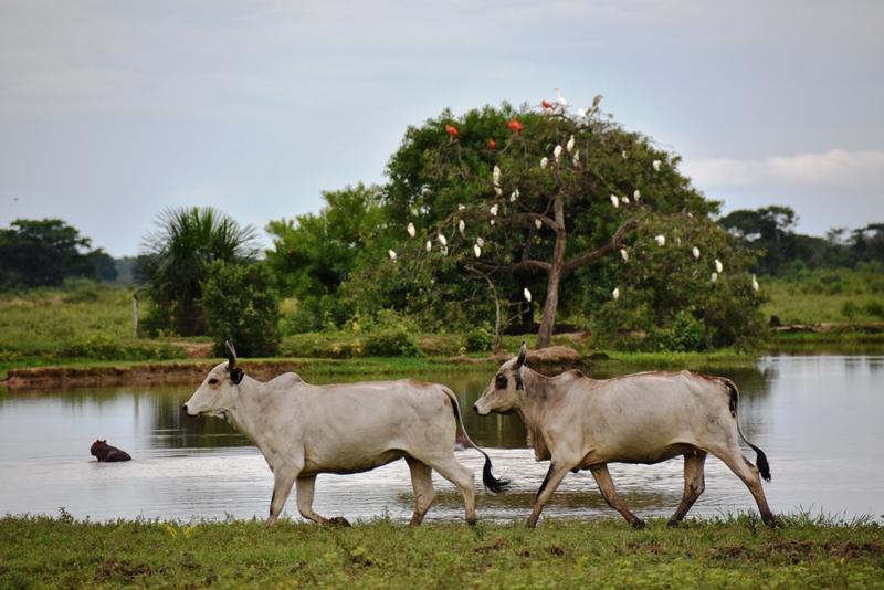 Køer foran sø og fugle, Los LLanos, Colombia