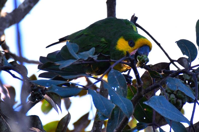 Den sjældne gulørede papegøje, Jardín, Colombia