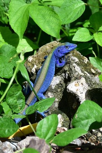 Et smukt blåt firben på Providencia, Colombia
