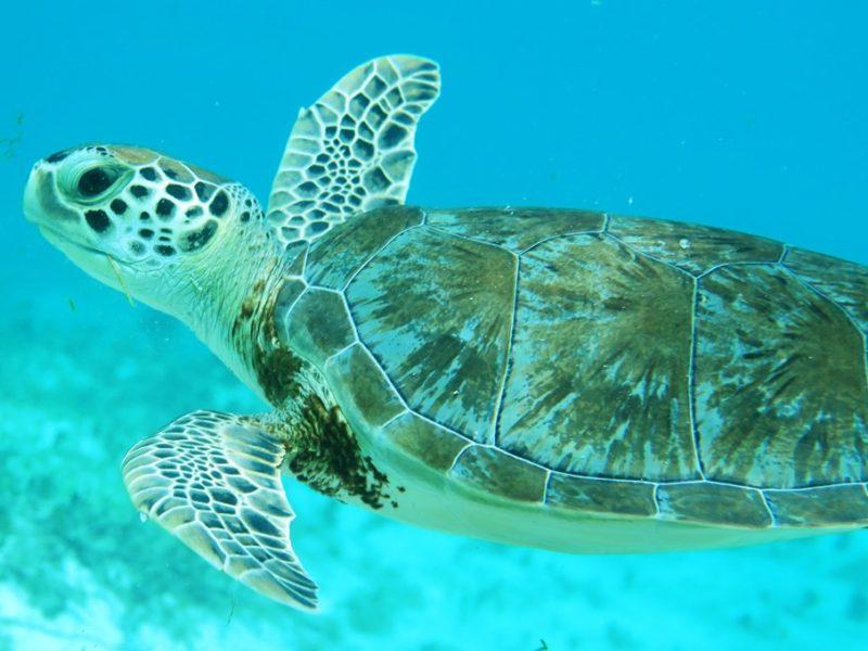 Svømmetur med skildpadde