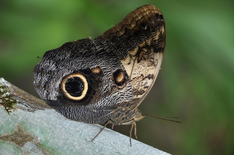 Fin sommerfugl ved Cobá i Mexico