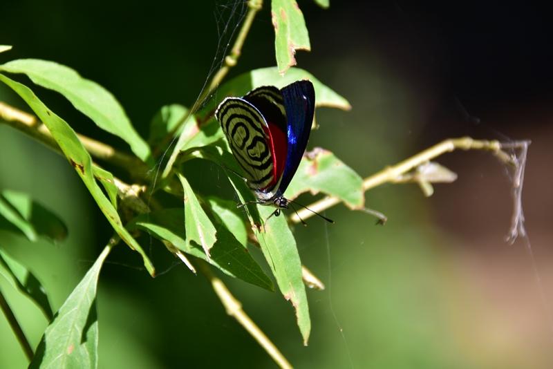 Fin sommerfugl i Colombia