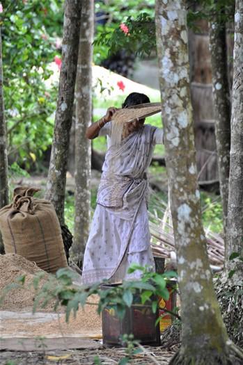 Kvinde ordner ris på Havelock, Andamanerne