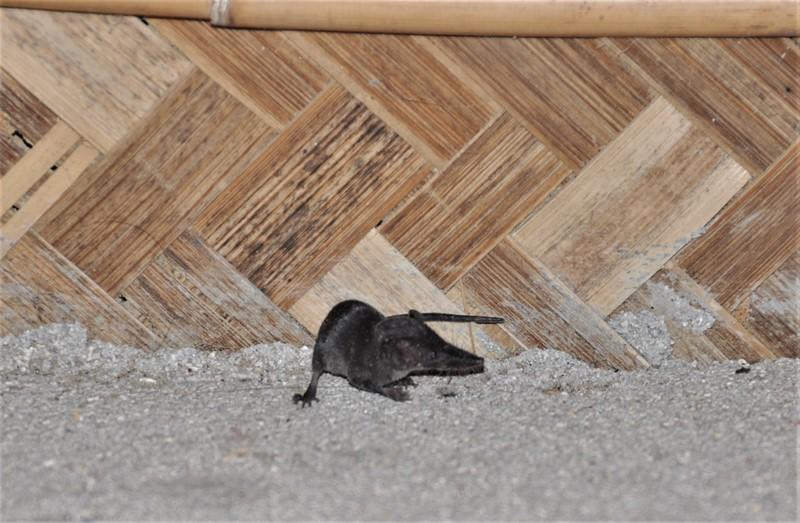 Spidsmus i hytten, Neil Island, Andamanerne