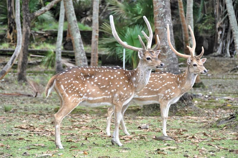Hjorte på Ross Island, Andamanerne