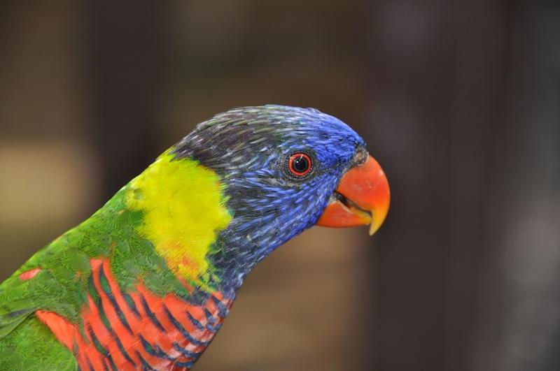 Papegøje i Kuala Lumpur