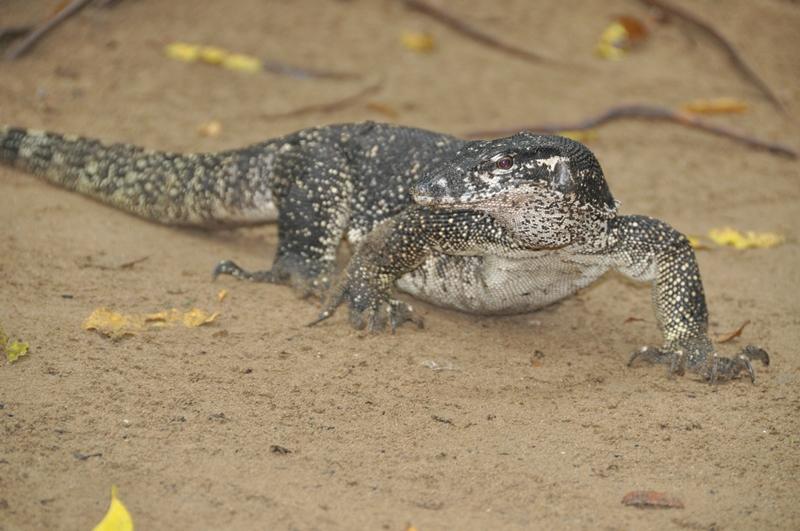 Monitor lizard ved Sabang, Palawan, Filippinerne