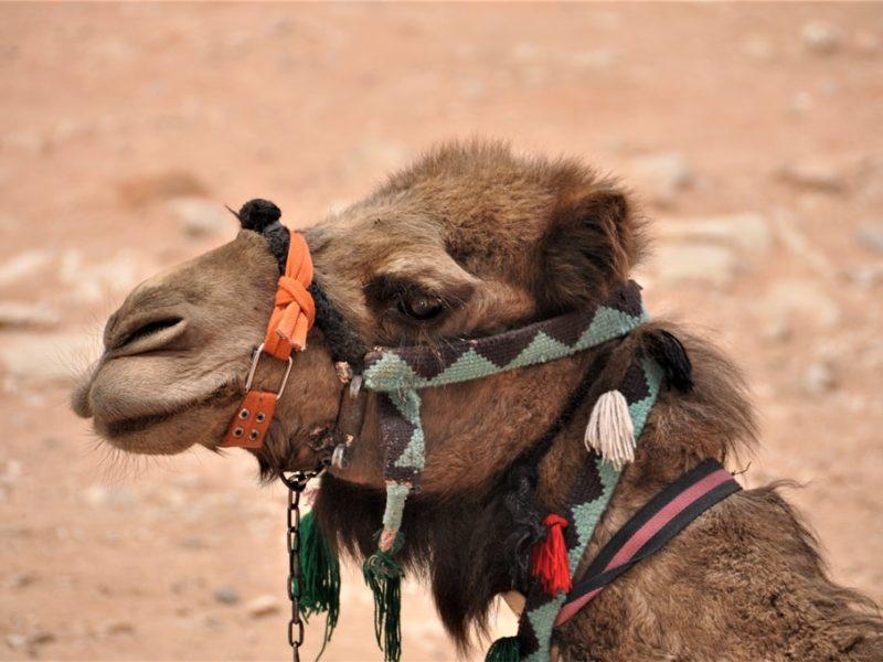 Masser af kameler i Jordan