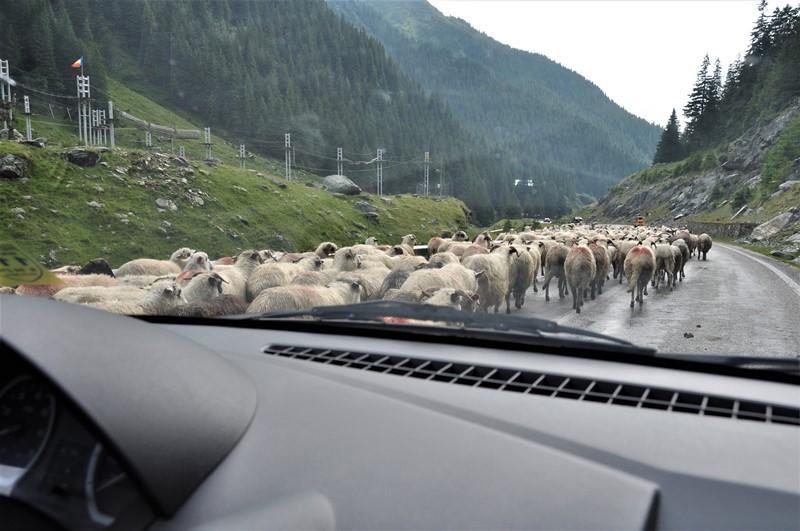 Fåreflok spærer hele vejen, Rumænien