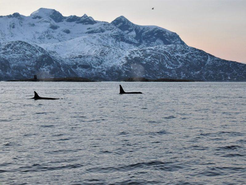 To smukke spækhuggere ved Tromsø, Norge