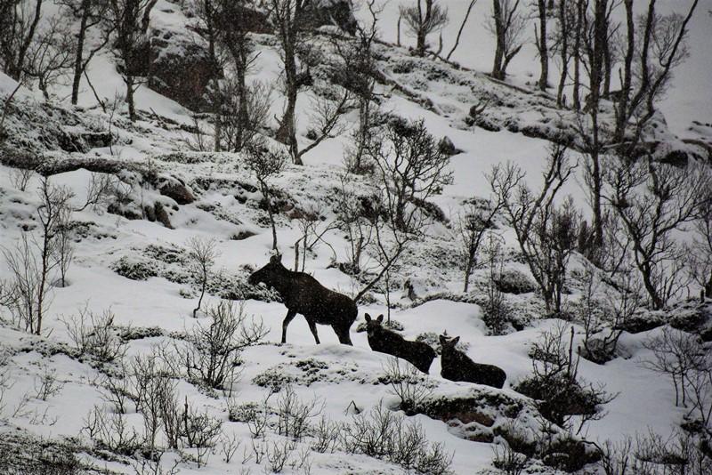 Tre elge på tur nær Tromsø