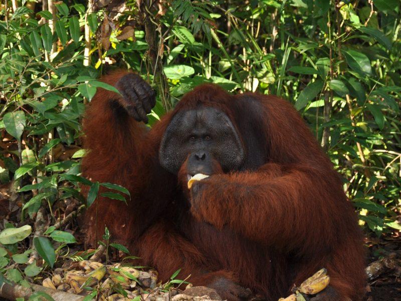 En orangutang på Kalimantan, Indonesien