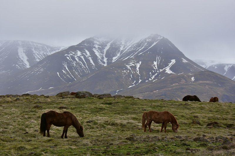 Islandske heste i landskabet