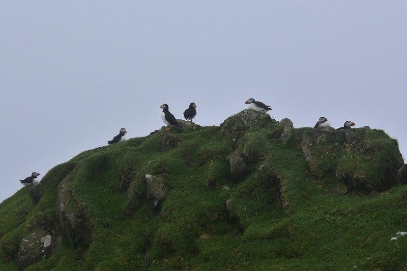 Lunder på Mykines, Færøerne