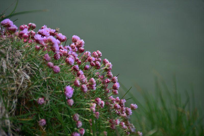 Engelsk græs, Mykines, Færøerne