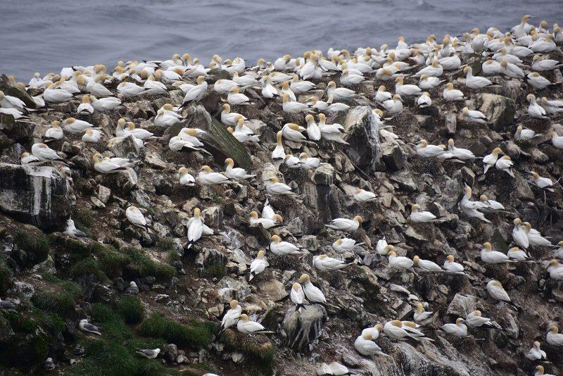 Sulekoloni på Mykines, Færøerne