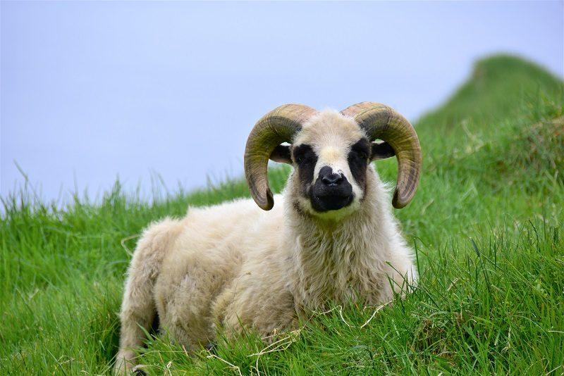Får, Mykines, Færøerne