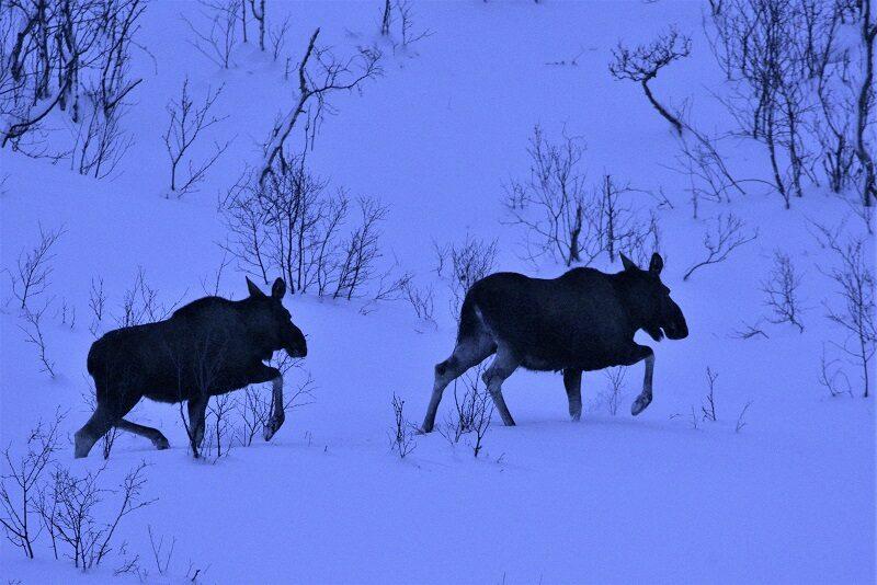 Elge nær Tromsø om vinteren.