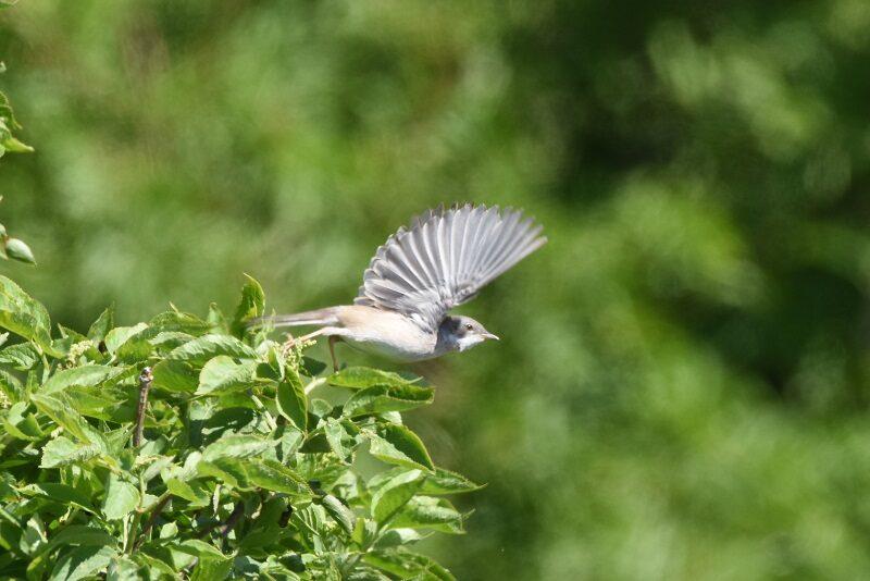 Fugl i flugt på Askø