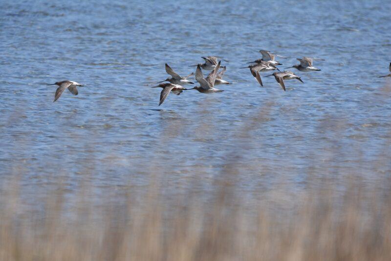 Fugle i flugt på Askø