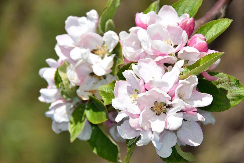 Æbleblomster på Lilleø