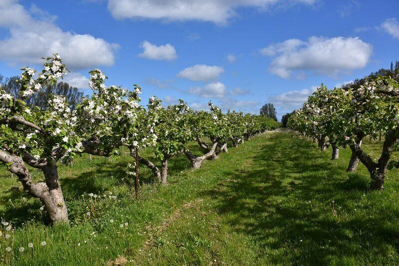 Æbleplantage på Lilleø
