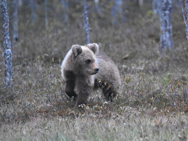 En nysgerrig bjørneunge i Finland