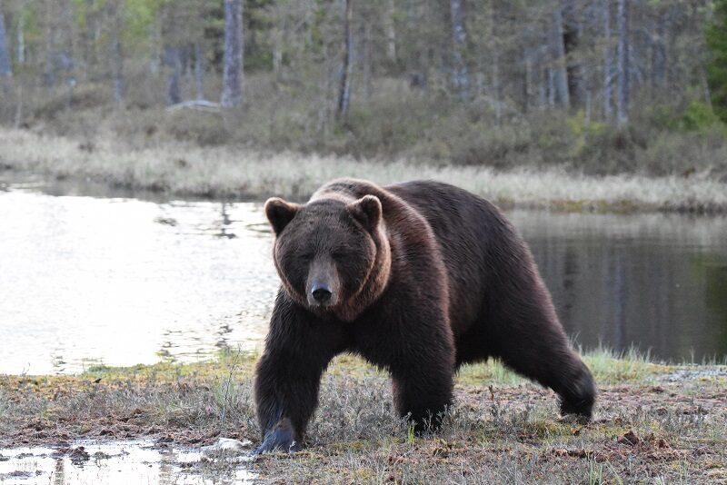 Stor bjørn, Finland