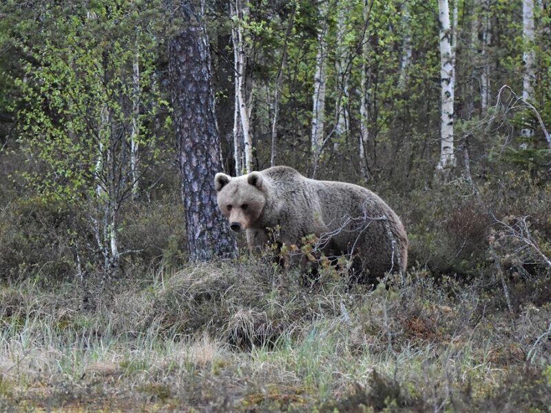 En hunbjørn ved Wild Brown Bear, Finland