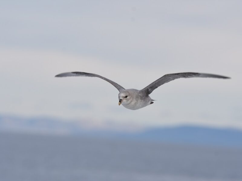 Mallemug over Svalbard