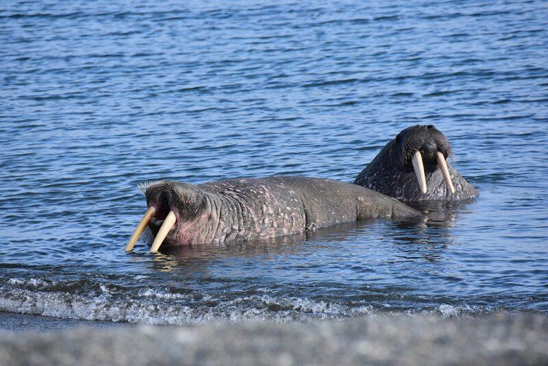 Hvalrosser i vandet ved hvalroskoloni, Svalbard
