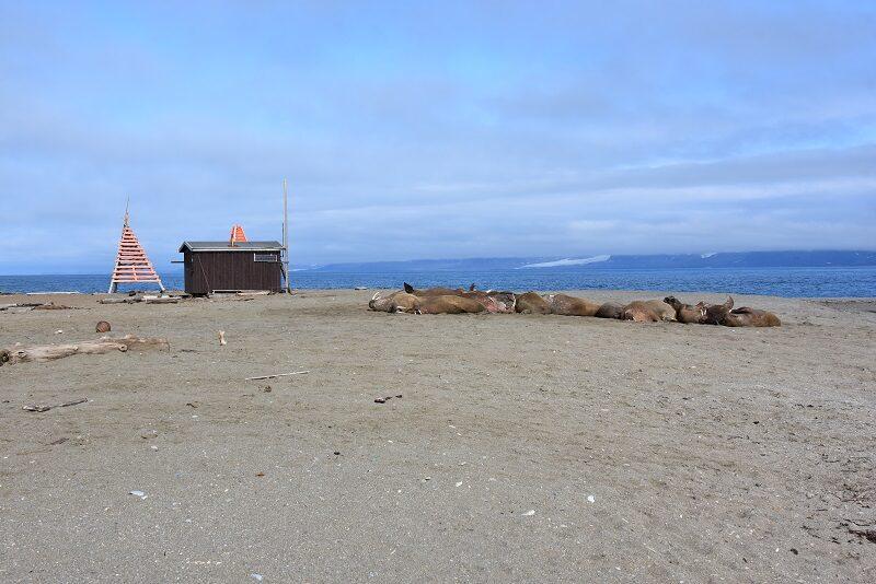 Vi nærmer os hvalroskolonien, Svalbard