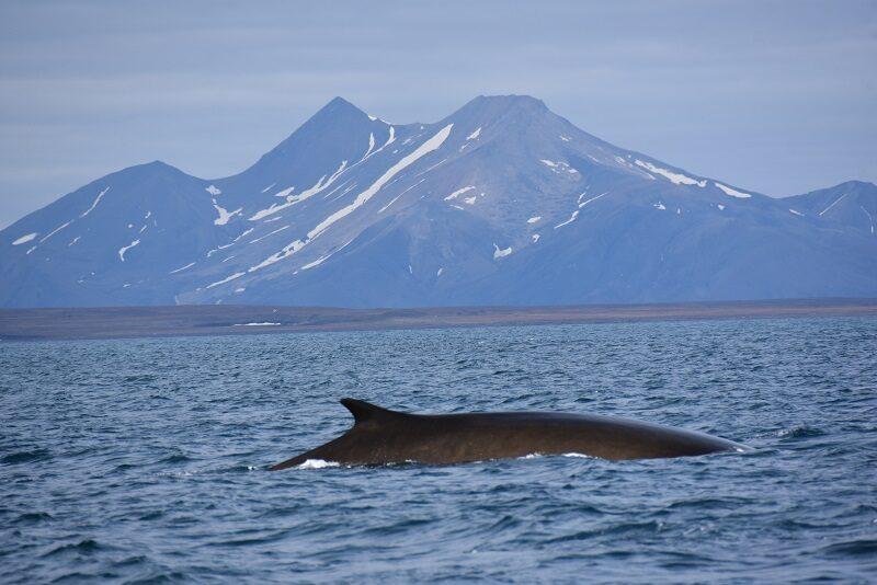 Finhval, Svalbard