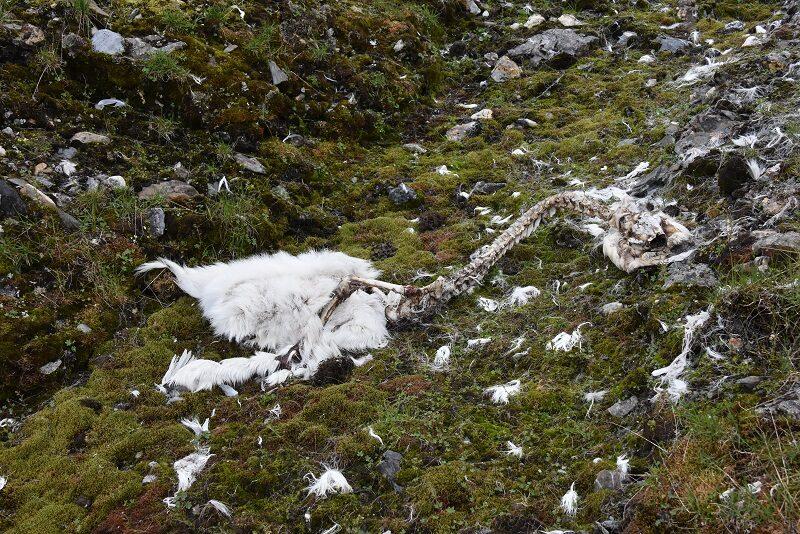 Kadaver af rensdyr, Svalbard