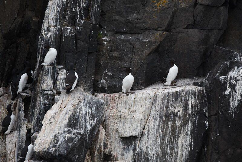 Polarlomvier på klippehylderne