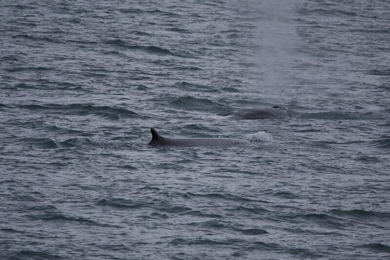 Finhvaler på Svalbard
