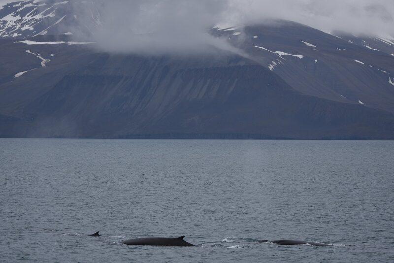 Hvaler ved Svalbard