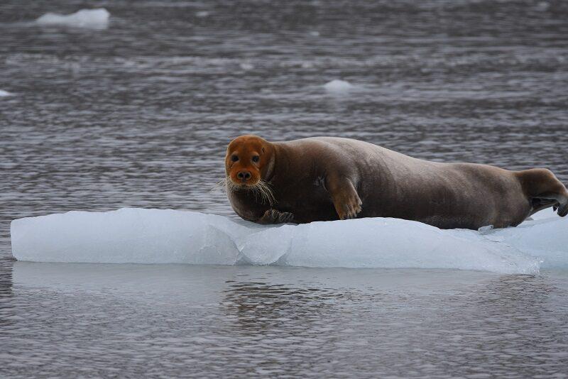 Remmesæl på isen, Svalbard