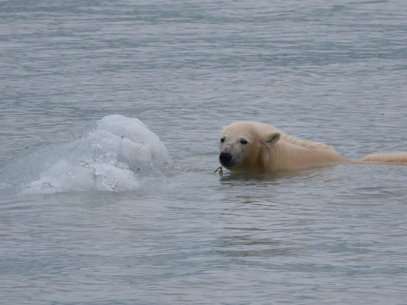 Vores første isbjørn set på Svalbard