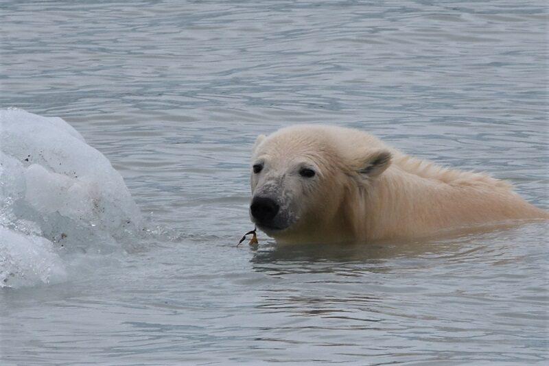En isbjørn der tygger tang på Svalbard