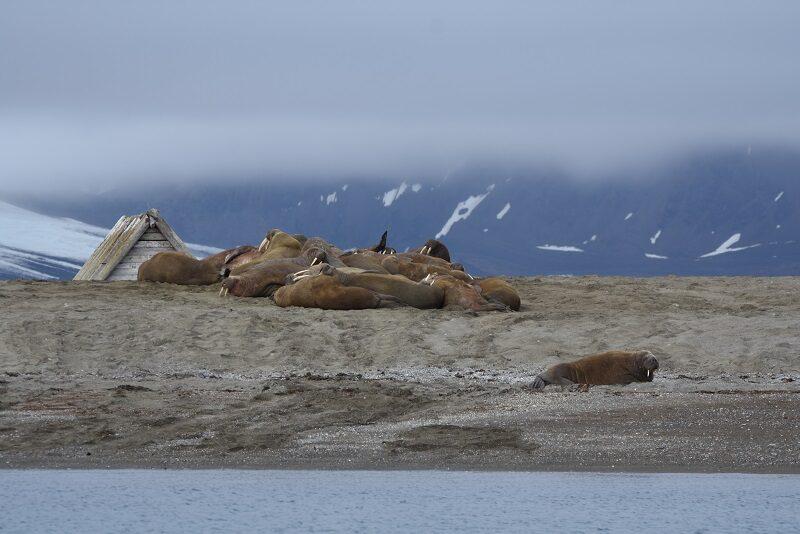 Hvalroskolonien ved Poolepynten, Svalbard