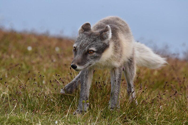 Polarræv på Svalbard