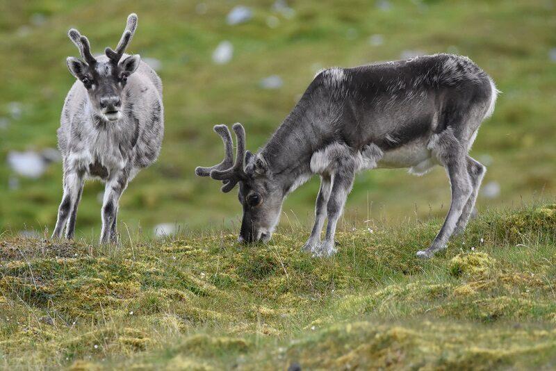Rensdyr på Svalbard