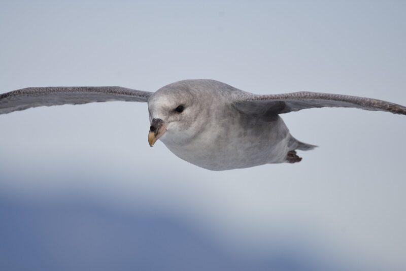 Mallemuk set på vej til Pyramiden, Svalbard