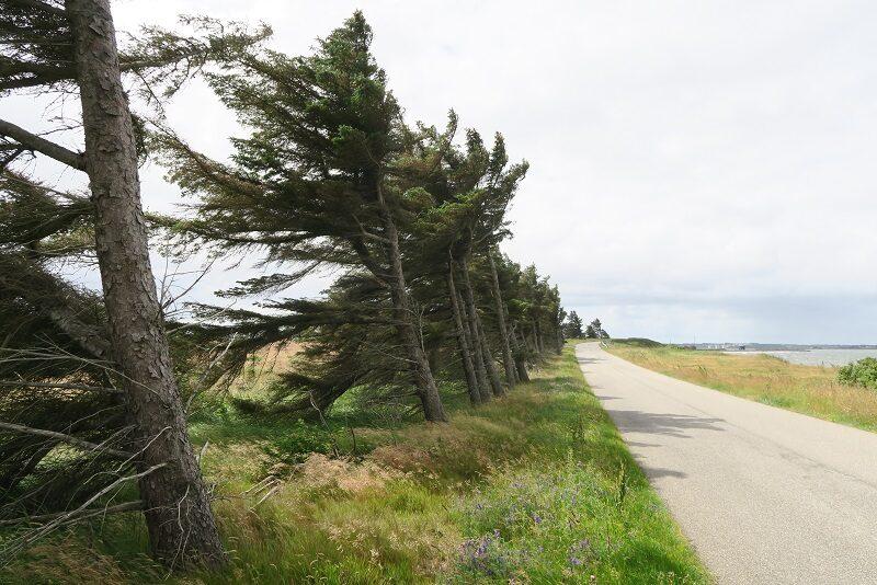 Skæve træer på Venø