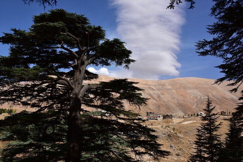 Cedertræer, Libanon