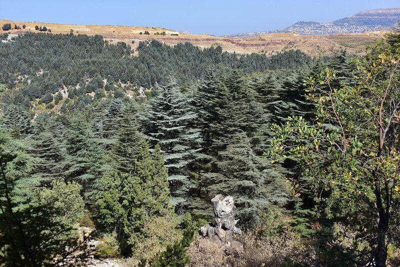 Cedertræer ved Tannourine, Libanon