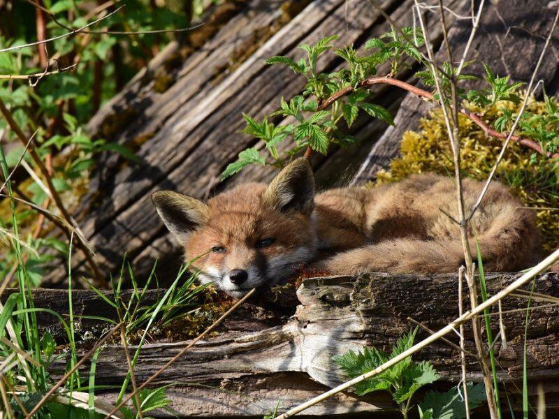 Den sødeste lille rævehvalp fra Lille Vildmose