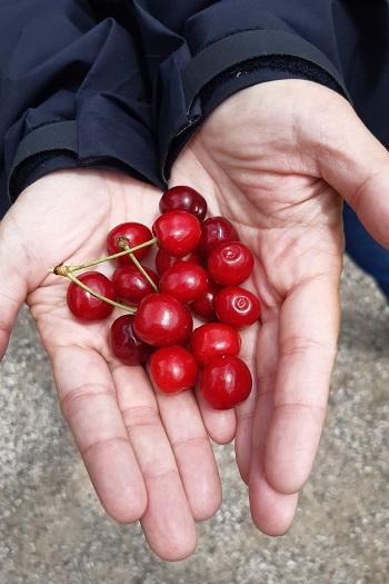 Vilde kirsebær fra Djursland